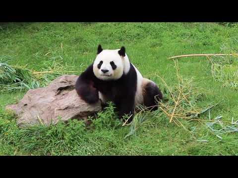 Panda Huan Huan - Zoo de Beauval