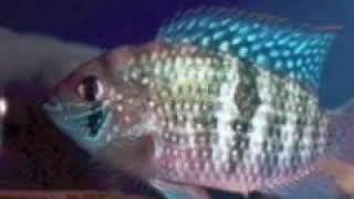 """Виды аквариумных рыбок """"Цихлида"""""""