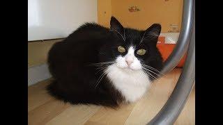 Кошка , почечная недостаточность у кошки