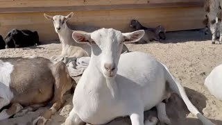 Funds to help the goats