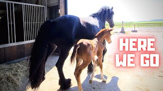 Let's go outside. On new shoes! We fix the wire | Friesian Horses