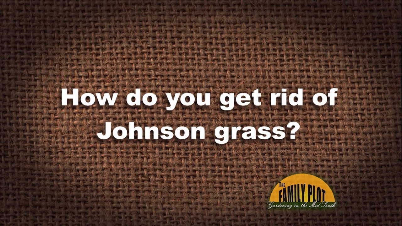 Q&A – How do you get rid of Johnson grass? - YouTube