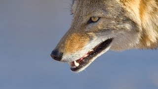Coyote Mystery: Attack in Wild (Nature Documentary)