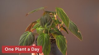 Philodendron hederaceum (Velvet Leaf Philodendron) Houseplant Care — 22 of 365