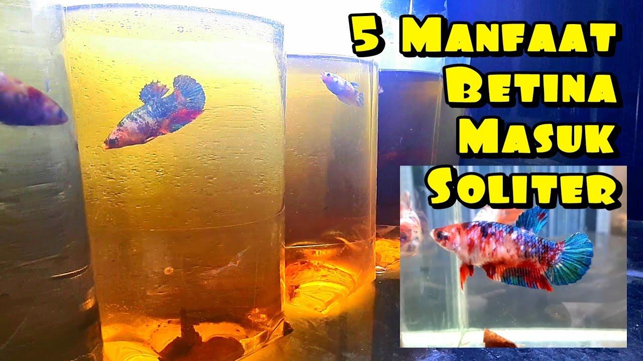 5 Manfaat Ikan Cupang Betina Masuk Soliter (Dibotolin)