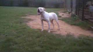 American Bulldog Ugly Betty Redclay Kennels