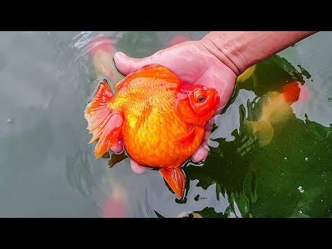 Tham Quan Trại CÁ VÀNG Bậc Nhất Việt Nam | Vietnam Goldfish Farm