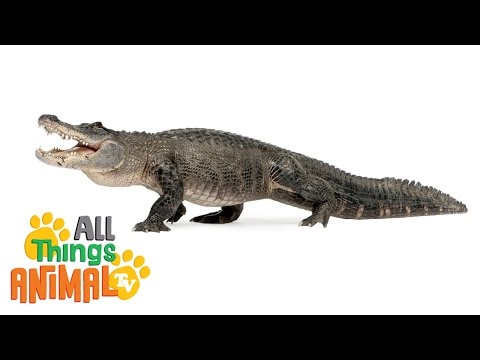 ALLIGATORS | Animals for children. Kids videos. Kindergarten | Preschool learning