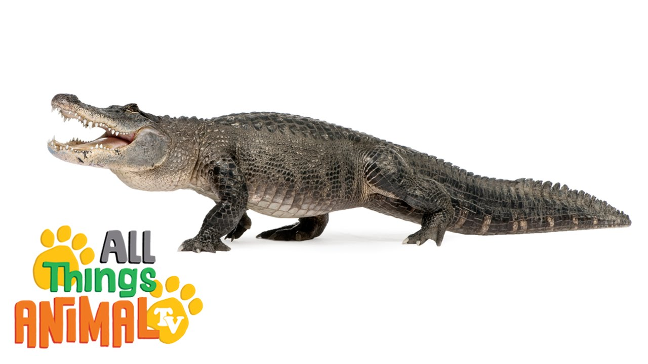 alligators animals for children kids videos kindergarten