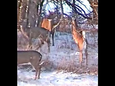 Deer Fly Over High Fence Good Jumps Shots Protect Fawn