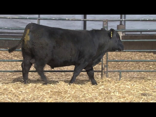 Schiefelbein Angus Farms Lot 227