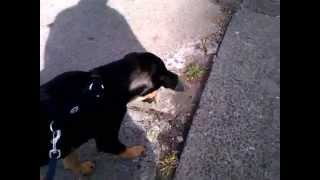 This Video Previously Contained A Copyrighted Audio Track. Due To A Claim By A Copyright Holder, The Audio Track Has Been Muted.     Rambo Aus Berlin (5) - Rambo Muss Kotzen - Pinscher Hund Welpen Doberman