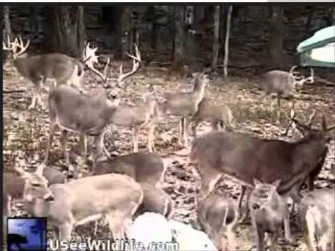 USEEWILDLIFE Oct 27/11 Deer feeding frenzy- .wmv