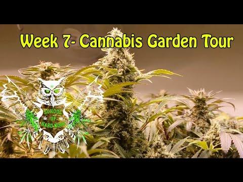 Cannabis Garden Tour - Week 7 Flower | Flushing Weed | Marijuana Garden Tour