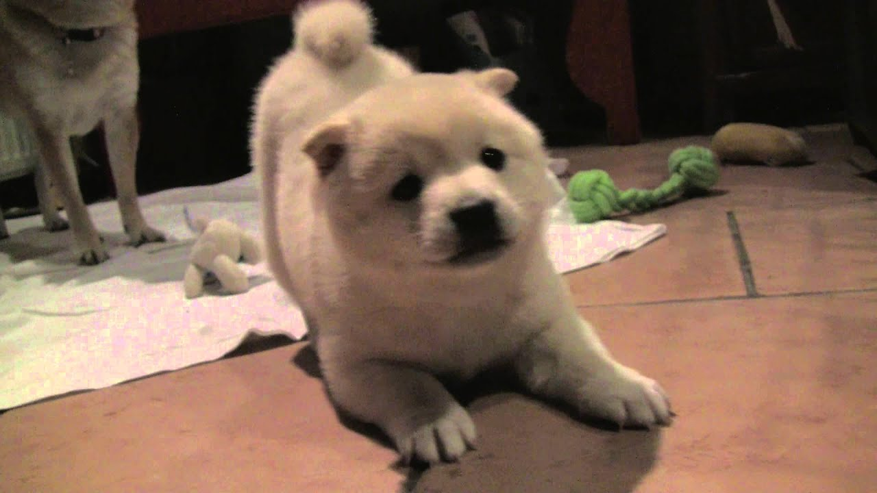 Shiba Inu Puppy Barking And Showing Who The Boss Is 8