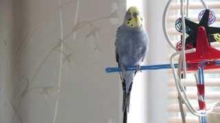 Волнистый попугай говорящий! (Яша)