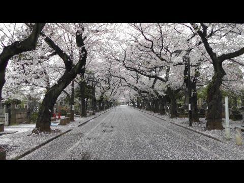 東京 谷中霊園(谷中墓地)の桜 桜の絨毯 cherry blossoms at Tokyo's Yanaka cemetery 1