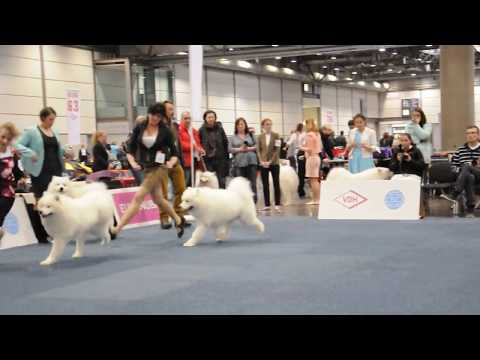German Winner Leipzig 2017 - Samoyed - Champion Class Males