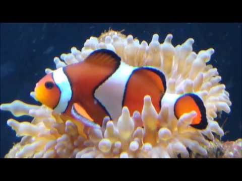 Clownfish And Bubble Tip Anemone - A Symbiotic Relationship