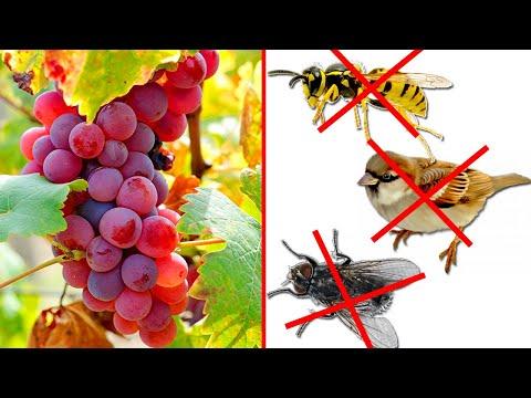 Защита винограда от ос и птиц!