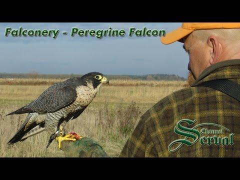 Falconry hunting with Hari Herak
