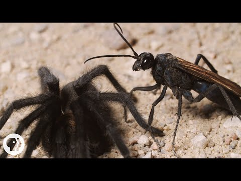 Tarantulas Take Hooking Up To The Next Level | Deep Look