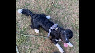 Pixie the Springer Spaniel Mix - 3 Weeks Residential Dog Training