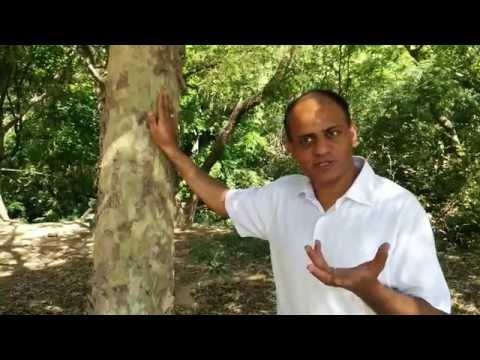 Terminalia Arjuna- Health Benefits, Medicinal Uses & Properties