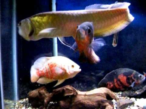 Stuart Hawkins further Beware Testicle Biting Fish Swedish Men Told Relative Piranha Appears Nordic Waters together with Denison Barb Barbus Denisonii as well Spawn Of Jaws The Great Shark Movie Rip Offs as well Watch. on oscar fish blood