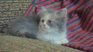 котенок манчкин девочка калико Munchkin  girl