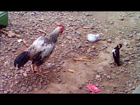Jalak Suren VS Ayam Jago
