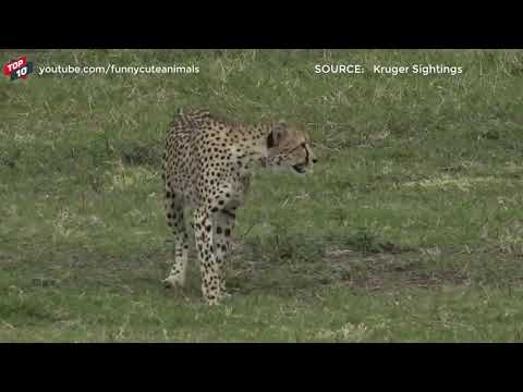 Download Animal world 🐯 TOP CROCODILE VS BIG CAT MOMENTS    Crocodile VS Tiger, Lion, Cheetah, Leopard