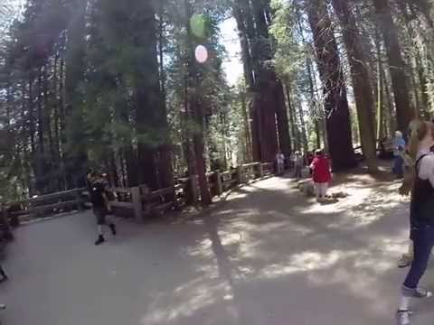 Bear in Sequoia National Park at General Sherman Tree (8 June 2015)