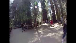 Bear in Sequoia National Park at General Sherman Tree (8 June 2015)