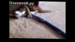 Бесстрашная кошка против пылесоса