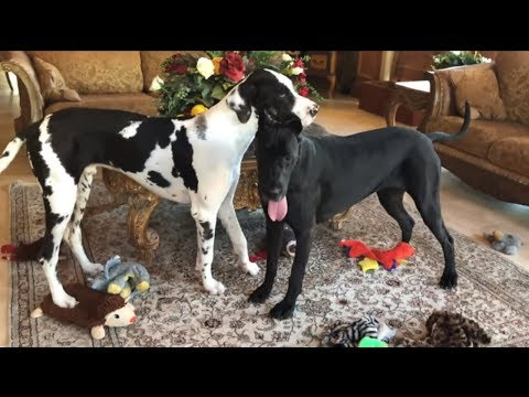 Great Danes completely empty out their toy box