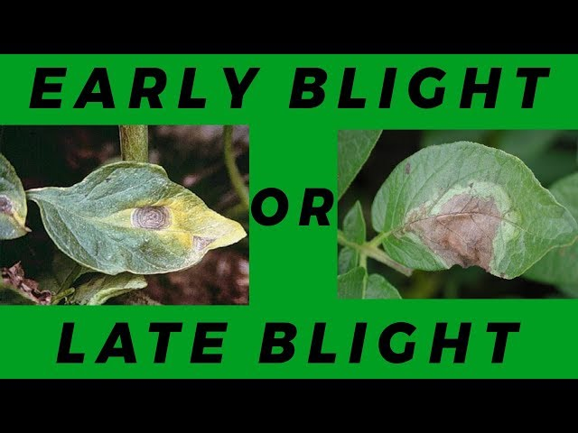 Lesson 2: Early Blight Vs Late Blight