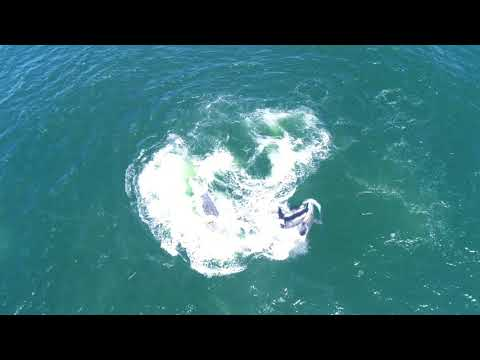 Hunting Orca Pod Separates Larger Grey Whale From Her Calf in Monterey Bay Encounter