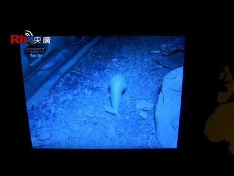 1 - RTI - Taiwan Inside - Tierbaby Pangolin, Nachwuchs im Zoo Taipei