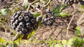 (OTN뉴스)오가피나무 열매의 효능? (아래 더보기 클…