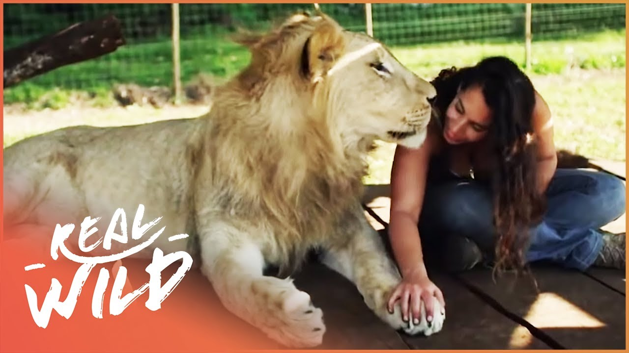 Animal Odd Couples Youtube friendship between lions and a human | animal odd couples | real wild