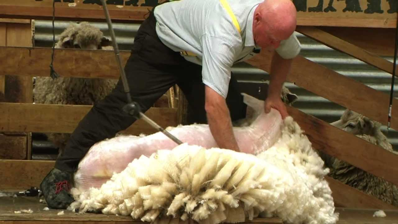 Sheep Shearing Walter Peak Farm New Zealand