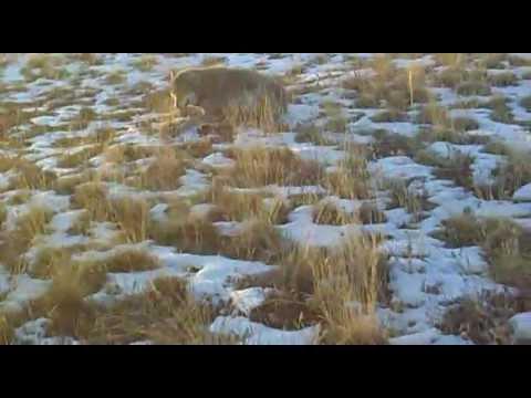 охота на волка фото