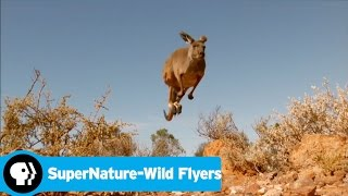 SUPERNATURE - WILD FLYERS | Australias Greatest Leapers | PBS