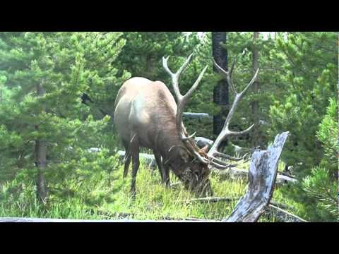 Giant Elk [Yellowstone National Park]