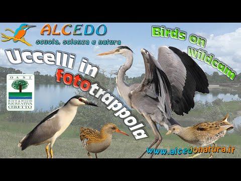 Nitticora, Porciglione, Voltolino e Airone cenerino - Uccelli in fototrappola