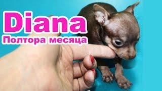 Будни собаки. РУССКИЙ ТОЙ ТЕРЬЕР МИНИ / MINI Russian toy Terrier Diana