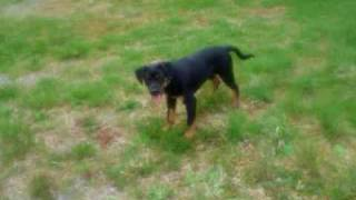 Cheddar Gustav My Cute Rottweiler/ Boxer Mix! When He Was Just A Little Puppy!