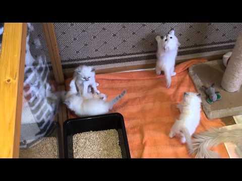 Ragdoll kittens 4 weeks old.....
