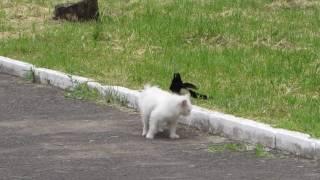 Красный Сулин. Сороки напали на кошку))